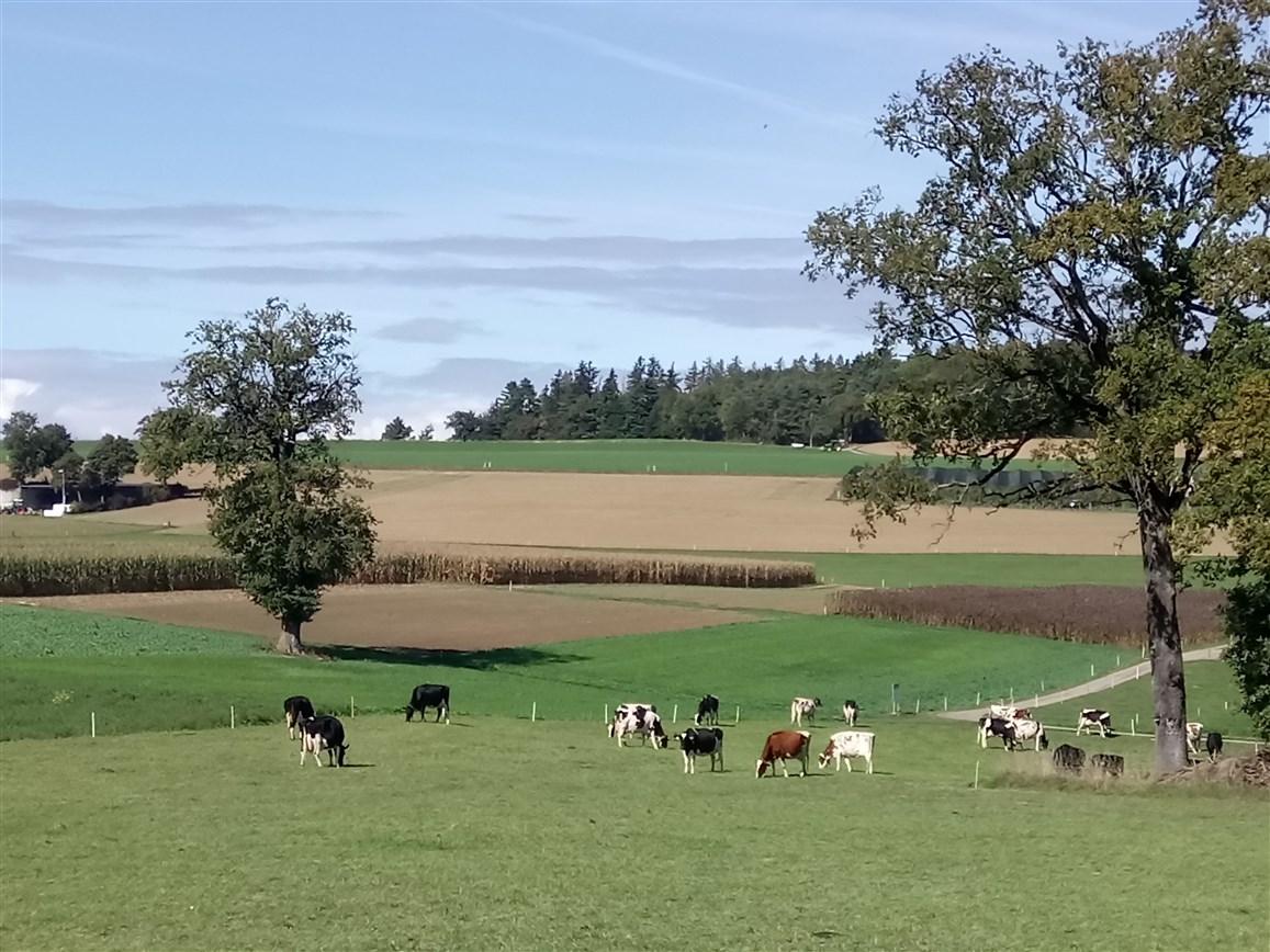 Das Bild zeigt Kühe
