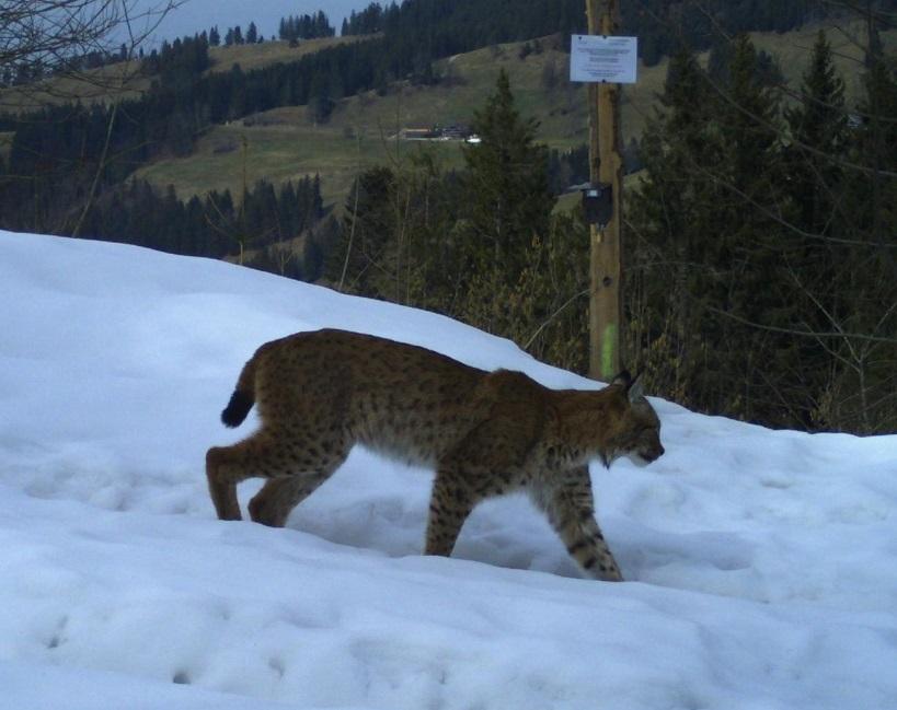 Lynx saisi par une caméra automatique en mars 2018