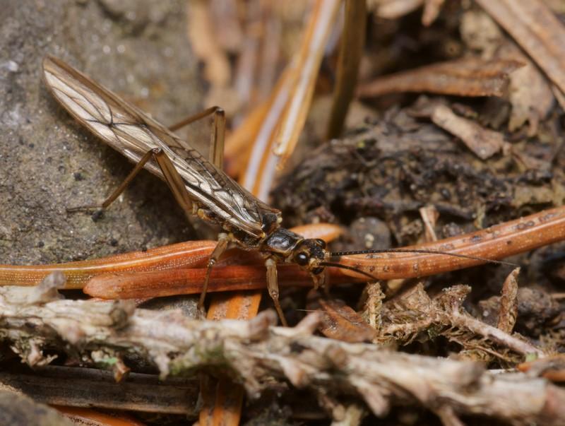 Mehrere Steinfliegenarten brauchen die Quellen für ihre Entwicklung