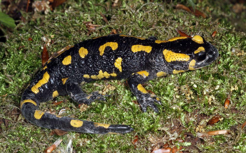 La salamandre tachetée dépose ses larves dans des eaux fraîches, pures et riches en insectes, des conditions qui se retrouvent notamment aux abords des sources