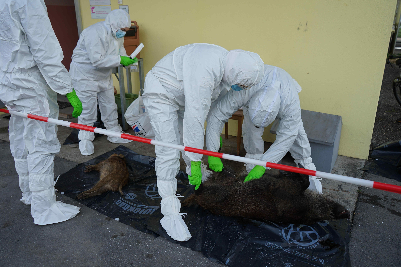 Cadavres de sanglier et marcassin infectés
