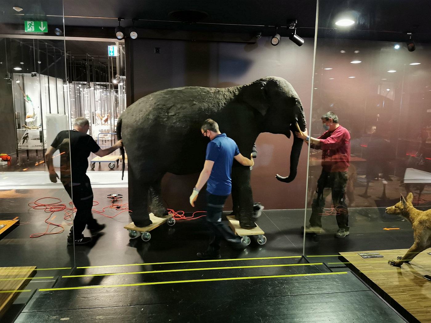 MHNF_Déplacement de l'éléphant d'Asie