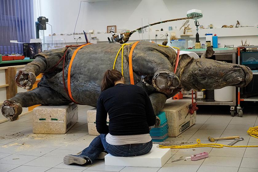 Restaurierung des Nashorns im Atelier der Tierpräparatoren, 2016
