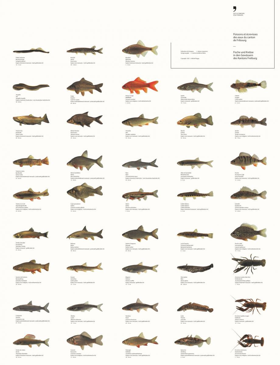 Poster toutes les espèces de poissons fribourgeoises