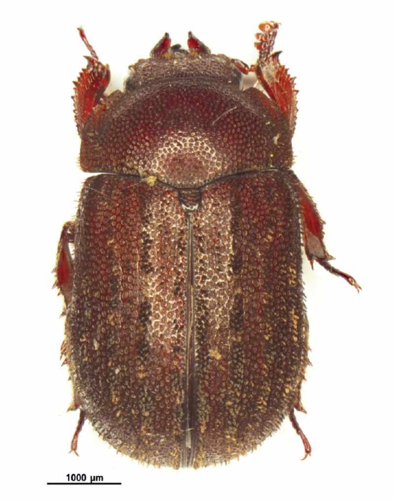 Aesalus Scarabaeoides, gefangen im Kanton Fribourg