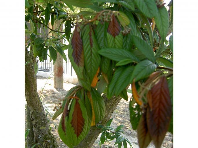 Feu bactérien – Cotoneaster Salicifolius