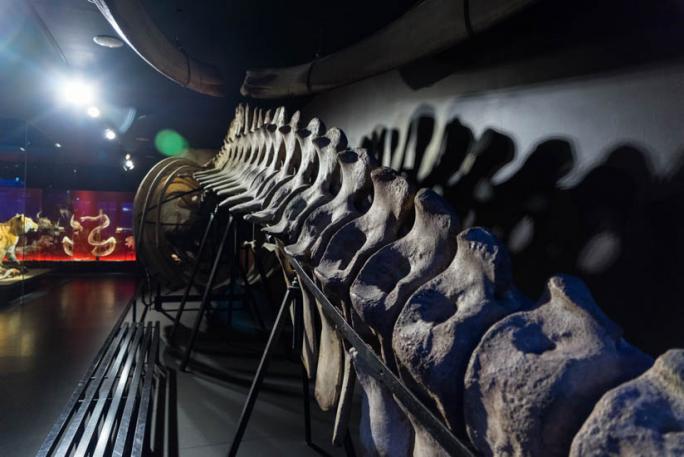 Vertébré du monde - Squelette de cachalot