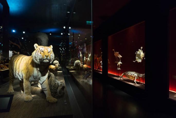 Vertébrés du Monde - Tigre de Sibérie