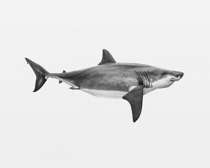 Thomas Brasey, Boaventura (2015), requin