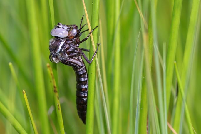 Das Schlüpfen des erwachsenen Tieres ist bei den Libellen heikel. Diese Hochmoor-Mosaikjungfer ist leider während des Prozesses gestorben