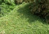 Feu bactérien – Cotoneaster Dammeri