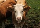 Vache. Exposition Au lait, olé. BCU, Fonds Hilber