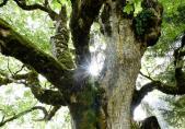 Spektakuläre Bäume  - Heimdall
