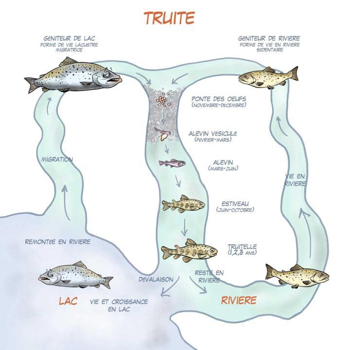 Le cycle de vie de la truite