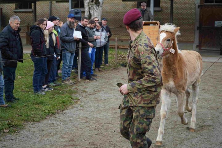 Haflinger mit einem Militär