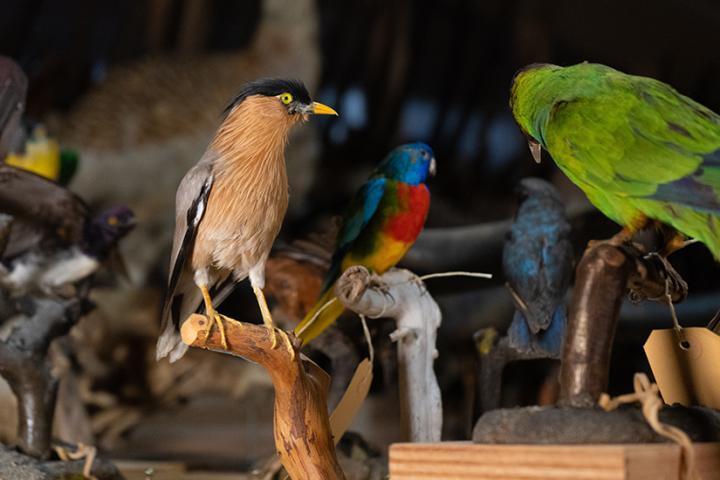 Collection d'oiseaux au MHNF