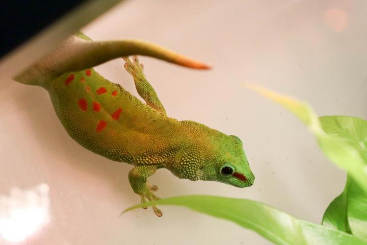 Le phelsume, un gecko diurne