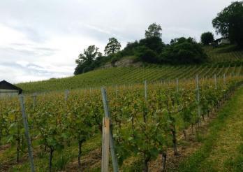 Vignes de l'Etat de Fribourg au Vully