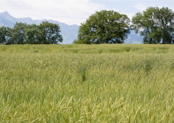 Das Bild zeigt die Felder von Sorens