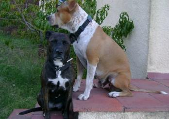 la photo représente un chien noir et un chien brun de la race Staffordshire Bull Terrier