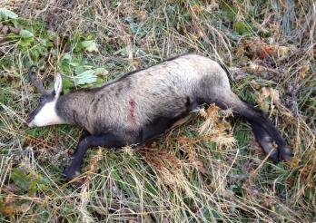 Das Photo zeigt eine während der Jagd geschossene Gämse
