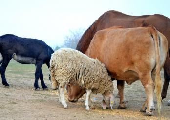 la photo représente un cheval, une vache, un mouton et un âne