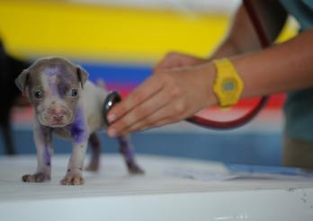 la photo représente un chiot ausculté par un vétérinaire