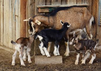 Photo représentant une chèvre avec des cabris