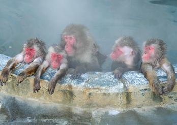 Macaques du Japon
