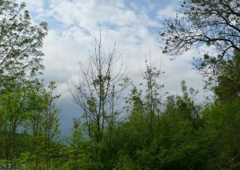 le flétrissement du frêne