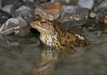 Erdkröte in einem Teich