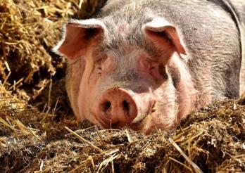 Das Photo zeigt ein Schwein im Stroh