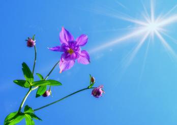 Akelei und Sonne