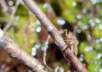 Exuvie Libellula quadrimaculata