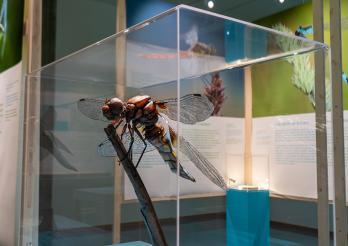 Libellemodell, zehnmal grösser als in der Natur