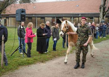 Pferd der Rasse Haflinger mit einem Soldat