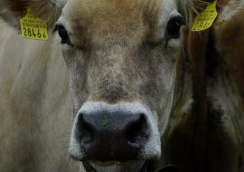 Vache avec marques auriculaires
