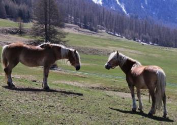 L'image montrer deux chevaux de race haflinger
