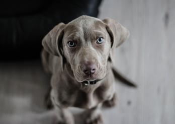 L'image montre un chien de couleur grise