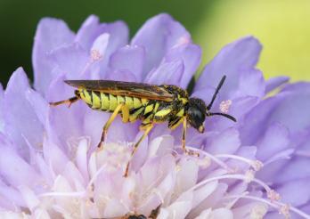 Symphyte (Tenthredo sp.)