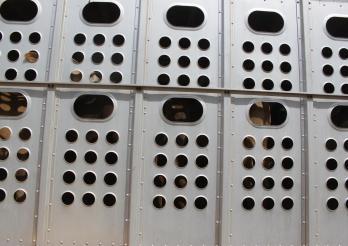Wer Tiere transportiert, ist für deren Wohlergehen verantwortlich