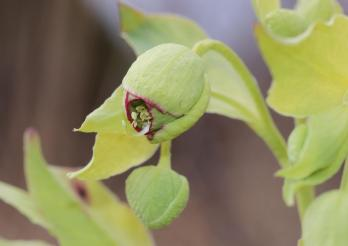 Fleur d'héllébore fétide (Helleborus foetidus)
