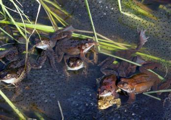 Ponte de grenouilles rousses