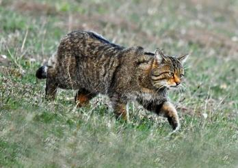 Chat sauvage