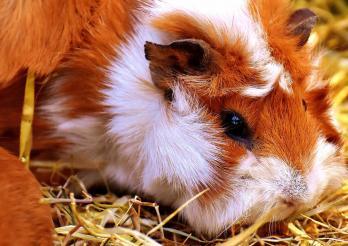 Besonders an Ausstellungen ist es wichtig, nur gesunde und nicht überzüchtete Tiere zu zeigen.