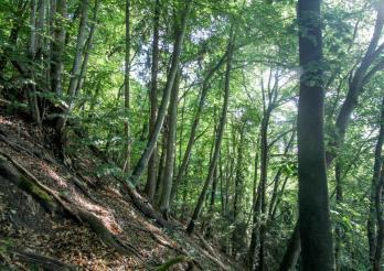 Milieu forestier où Aesalus scarabaeoides a été découvert en 2019