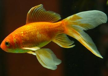 Rund drei Millionen Aquarienfische leben in Schweizer Haushalten.