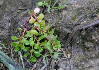 Der Sumpfquendel (Lythrum portula) gilt in der Schweiz als gefährdete Art.