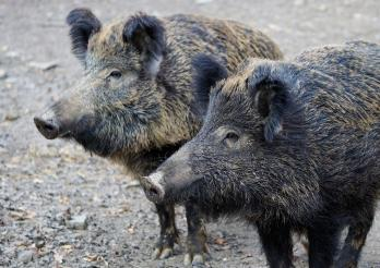 Ein Ausbruch der Afrikanische Schweinepest in der Schweiz wäre ein Notstand, der alle kantonalen Veterinärämter stark beanspruchen würde.