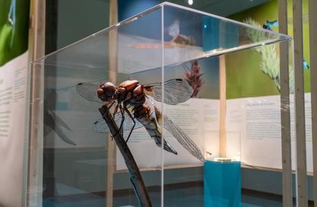 Modèle de libellule dix fois plus grand que nature